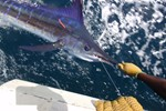 Beautiful striped marlin