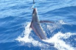 marlin striped